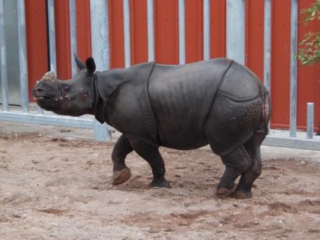 Jamil the Rhino