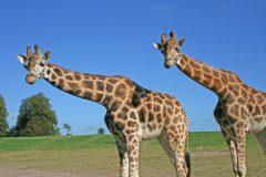 giraffes in East Cork